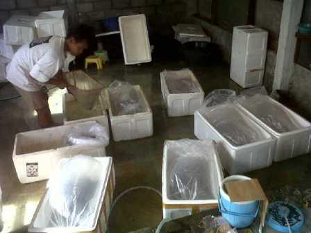 pengiriman bibit ikan