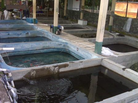 kolam budidaya ikan koi