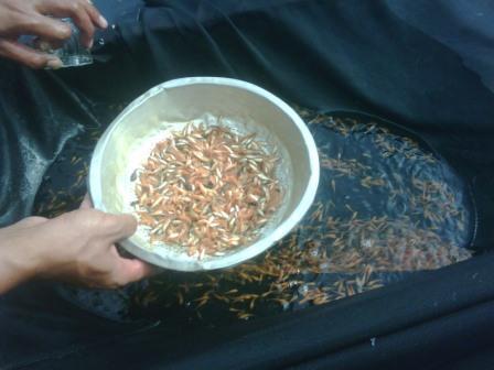 bibit ikan mas merah