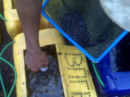 cara pengemasan benih ikan