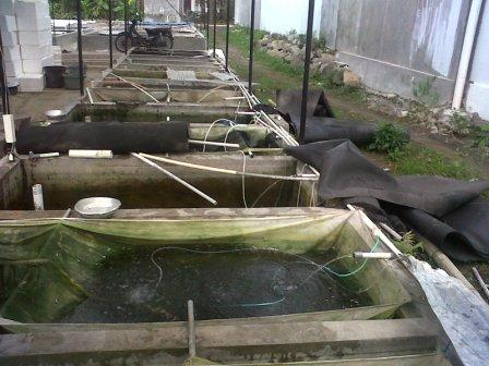 kolam karantina benih gurame